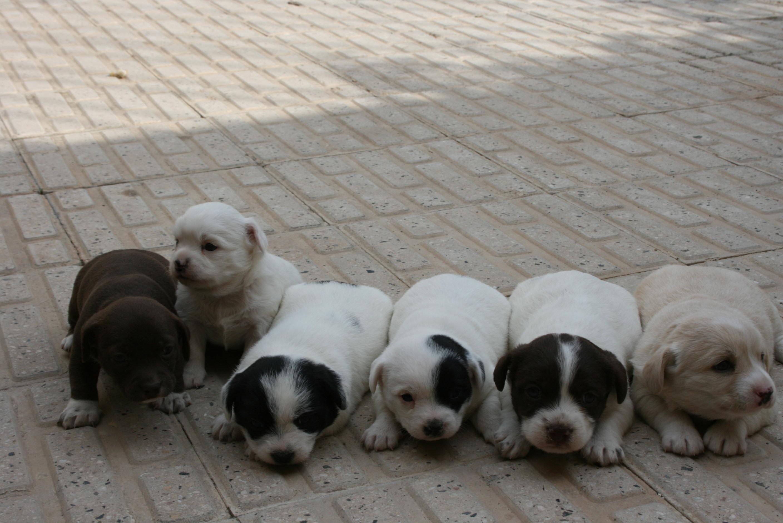 قیمت سگ پا کوتاه